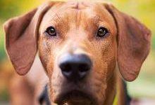 Родезийский риджбек: все о собаке, фото, описание породы, характер, цена