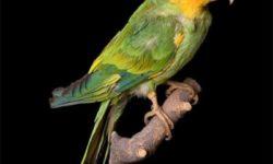 Каролинский попугай | Вымерший вид попугаев