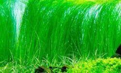 Неприхотливые аквариумные растения для аквариума (самые нетребовательные к освещению и уходу, простые не требующие грунта): фото, зачем нужна растительность, декоративное назначение, сколько растений может быть, виды (яванский мох, риччия, таиландский и индийский папоротник, кладофора, валлиснерия, ключевой мох, наяс, роголистник, элодея)