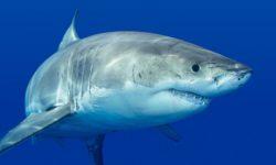 Сколько весит акула: средний вес китовой, тигровой, белой и других видов