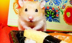 Что едят хомяки в домашних условиях: список продуктов которые можно и нельзя давать кушать