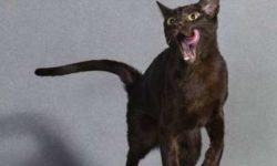 Гавана 🐈 фото кошки, история и описание породы, характер, уход