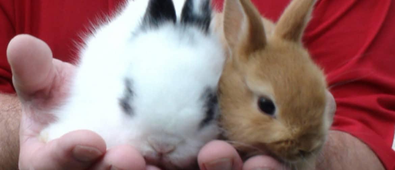 Сколько живут декоративные кролики в домашних условиях: что влияет