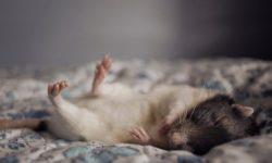 Сколько часов спят домашние крысы в сутки