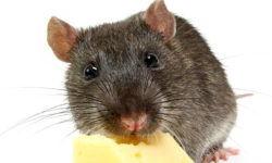 Можно ли крысам сыр, молоко, творог и другие молочные продукты