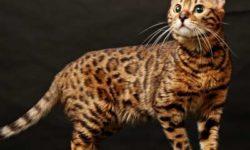 Бенгальская кошка 🐈 фото, описание породы, характер, уход, стандарты, размеры и вес, кормление, имена и клички, цена