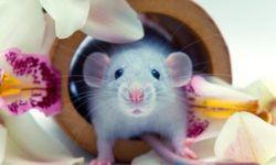 Стоит ли заводить домашнюю крысу: плюсы и минусы декоративного питомца