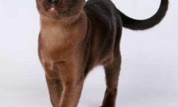 Бурманская кошка 🐈 фото, описание породы, характер, уход, стандарты, окрасы