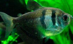Тернеции: совместимость с другими рыбами, содержание аквариумной рыбки, уход, виды (вуалевая, альбинос, карамелька, золотая, glofish)