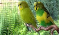 Волнистые попугаи | Описание, питание, уход в домашних условиях