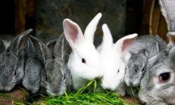Можно ли кроликам помидоры, ботву от моркови, свеклу (красную, кормовую, сахарную), огурцов, картошку