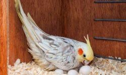 Попугай снес яйцо без самца - что делать