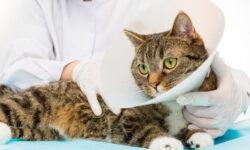 Кот после кастрации: как ухаживать за животным в первые дни, когда его можно кормить и мыть?