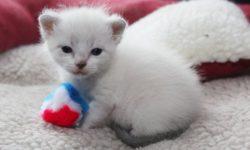 5 способов как определить пол котенка