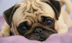 Шишка у собаки на спине, на лапе и на животе под кожей: что это может быть