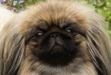 Пекинес: все о собаке, фото, описание породы, характер, цена
