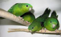 Толстоклювый попугай - описание и особенности содержания