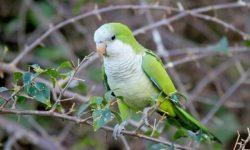Попугаи монахи(квакер, калита): внешние особенности, поведение, содержание