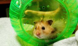 Прогулочный шар для хомяка: назначение, выбор и использование (фото)