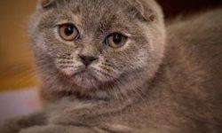 Скоттиш-фолд 🐈 фото, описание породы, характер стандарты, уход за шотландской вислоухой кошкой, вес, особенности, болезни котят