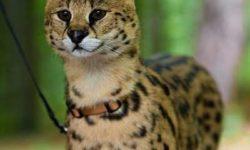 Саванна 🐈 фото кошки, история и описание породы, характер, уход