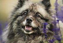 Кеесхонд: все о собаке, фото, описание породы, характер, цена