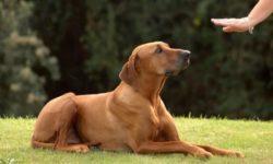 Как научить собаку команде «лежать»: видеоуроки, методы и рекомендации