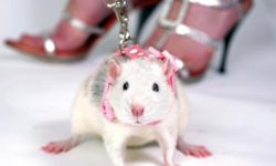 Шлейка и поводок для крысы: применение, назначение, изготовление