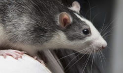 Крыса хаски - описание разновидности с фотографиями