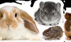 Можно ли держать хомяка в одной клетке вместе с морской свинкой, крысой, кроликом или дегу
