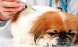 Сахарный диабет у собак: симптомы и лечение, диагностика и уход за больным псом