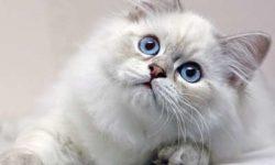 Британская длинношерстная кошка 🐈 фото, описание породы, характер, уход, стандарты