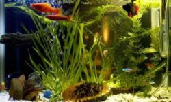 Петушок совместимость с другими рыбками: с кем уживаются, кого можно подселить (сомики, неоны) в аквариум, таблица