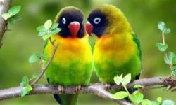 Как подобрать пару попугаю
