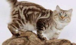 Американский бобтейл 🐈 фото кошки, история и описание породы, характер, уход