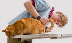 Кровь в моче у кота: [ 15 причин и Что делать ]