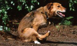 Аскариды у собак (Аскаридоз): лечение и симптомы, фото,передаются ли человеку