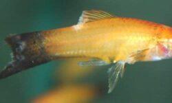 Плавниковая гниль (псевдомоноз плавников): лечение рыбок в общем аквариуме, причины, лекарства и средства (левомицетин)