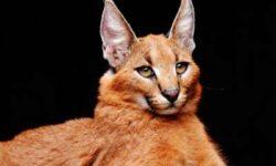 Домашний каракал: 🐈 фото, цена, описание кошки, характер, уход
