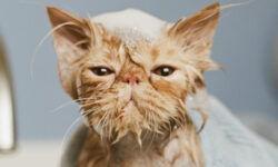 Как мыть кошку или кота в домашних условиях, как часто надо их купать, если они не выходят на улицу?