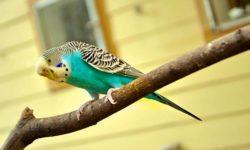 Температура тела волнистого попугая: норма и отклонения от неё