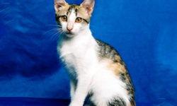 Бразильская короткошерстная кошка 🐈 фото, описание породы, характер, уход, стандарты