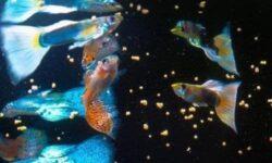 Чем кормить гуппи в аквариуме в домашних условиях: сколько раз в день, как часто, живой корм, новорожденных, если нет корма, переедание