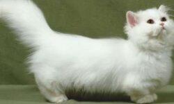 Наполеон: 🐈 фото кошки, описание менуэта, характер, уход и история