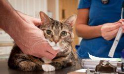 Сахарный диабет у кошек: симптомы, лечение, диета (чем кормить)
