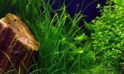 Неприхотливые аквариумные растения: польза водорослей, посадка в грунт и уход, популярные виды для начинающих