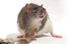 Cколько стоит домашняя декоративная крыса в зоомагазине, питомнике и на рынке
