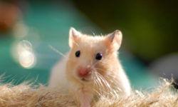Болезни кожи у хомяков: лишай, парша, дерматофитоз