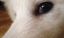 Красные белки глаз у собак: причины и способы лечения, от чего возникает слезоточивость