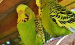 Как понять, что самка волнистого попугая беременна